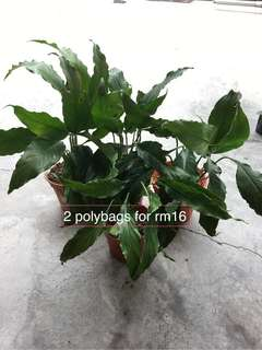 Peace Lily - air purifying plant. (OFFER)