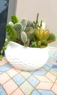 'Pot luck' Mix of homegrown cactus & Succulent Plants