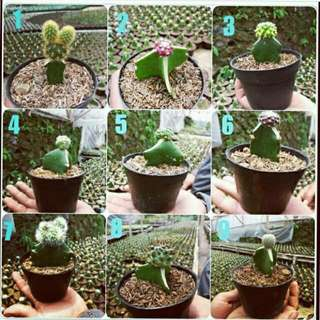Kaktus Promo 10Pcs