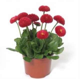 Red English Daisy Seeds