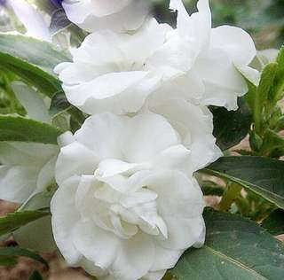 White Double Camellia Impatiens Balsamina Seeds