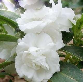 White Double Camellia Impatiens Balsamina Seeds