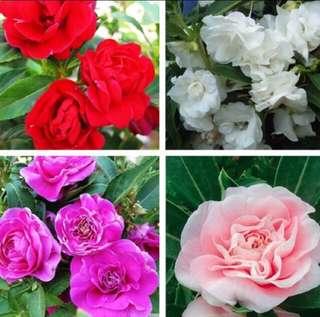 Mix Colour Camellia Impatiens Balsamina Seeds