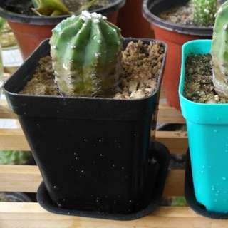 Tornless cactus
