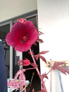 Maple hibiscus