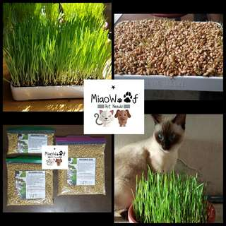 Wheatgrass seeds / Cat grass seeds for Cats, Dogs, Rabbit, Tortoise, Hamster, Guinea Pig