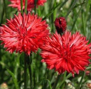 Red Cornflower Centaurea Cyanus Seeds