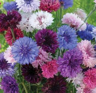 Mix Colour Cornflower Centaurea Cyanus Seeds