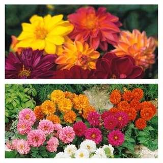 Dahlia Mix Colour Flower Seeds