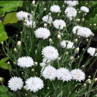 White Cornflower Centaurea Cyanus Seeds