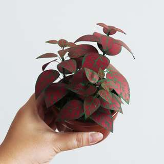 RED SPLASH HYPOESTES