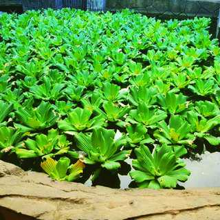 DELIVERY: Luttuce Plant Water Betta Breed Kiambang Air