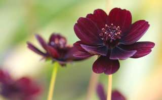 Rare Cosmos Coreopsis Blackish Coffee Double Petals Seeds