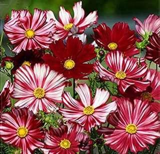 Rare Cosmos Coreopsis Seeds Dark Red&White Bi-Colour Petals