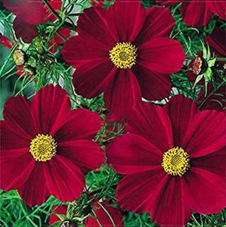 Rare Cosmos Coreopsis Seeds Fully Dark Red Big Petals