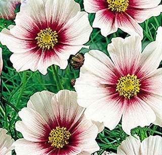 Rare White To Dark Red Cosmos Coreopsis Seeds