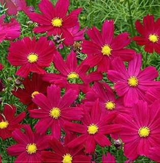 Rare Cosmos Coreopsis Fully Rose Red Seeds