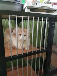 Jual 3 kucing anggora persia kesayangan