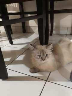 Kucing Persia Himalaya 10bulan jantan udah vaksin