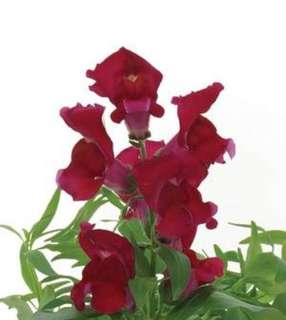 Dwarf Red Snapdragon Flower Seeds