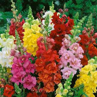 Mix Colour Dwarf Snapdragon Seeds