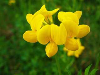 Dwarf Yellow Snapdragon Antirrhinum Seeds