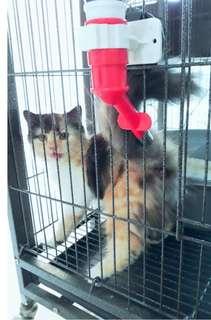 Kucing persia betina warna calico