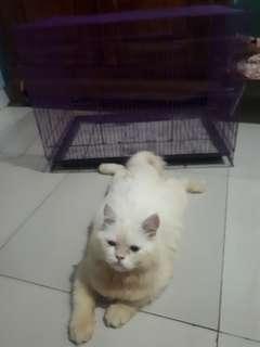 Kucing persia betina
