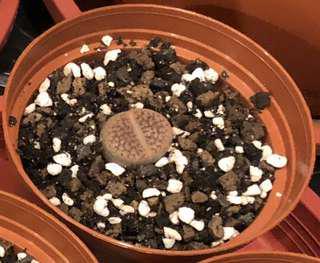 Succulent Plant - Lithops
