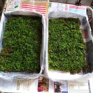 Terrarium Moss Live Moss for terrarium flowerpot bonsai carpeting