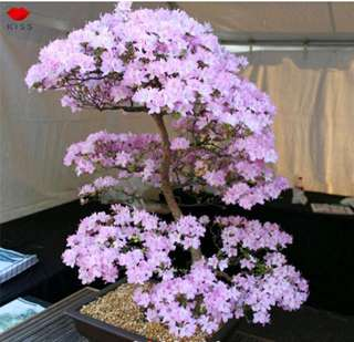 BONSAI TREE SAKURA SEEDS