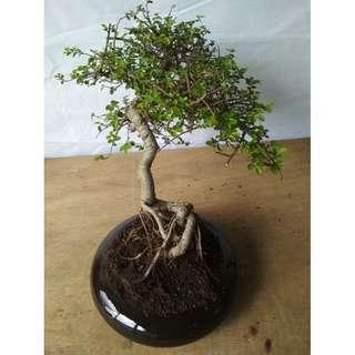 Bonsai Ulmus Lancaefolia R436