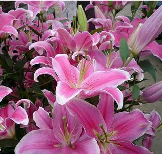 LILY FLOWER SEEDS