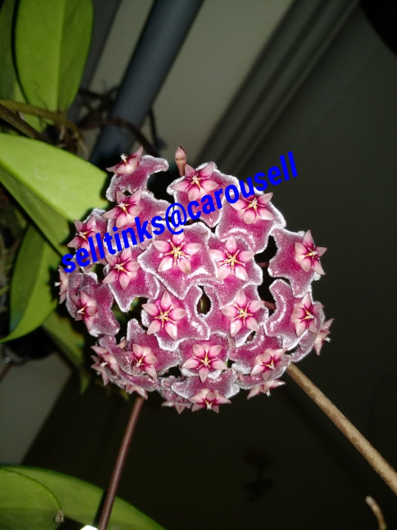 Hoya Plants With Blooms Gardening Plants On Carousell