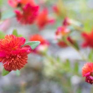 Ros Jepun Summer Star Australia / Australian Summer Star Japanese Rose