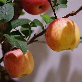 Bonsai apple seeds