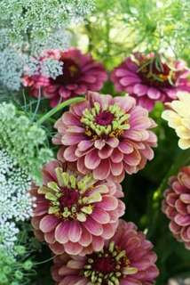 Exitic Bi-Colour Queen Red Lime Zinnia Seeds