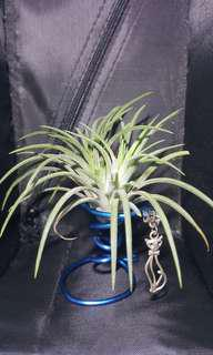 Air Plants with stands and figrines