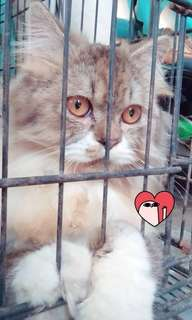 kucing anggora