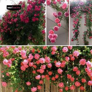 Climbing Rose seeds balcony fences Decor plants flowers