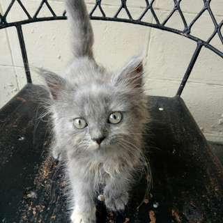 Persian cat for reservation