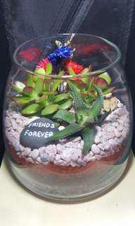 Jade plant succullent terrarium