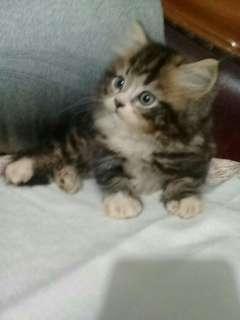 Kitten persia medium mix ragdoll