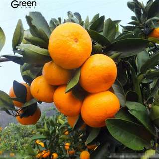 Mandarin Citrus tree seeds