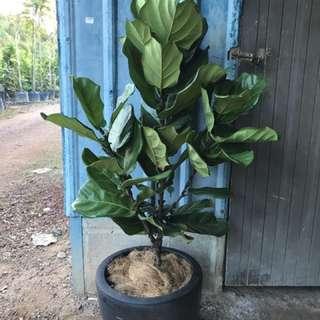 Ficus Lyrata With Pot