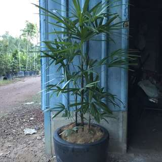 Rhapis Excelsa With Pot