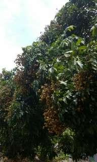 水果龍眼Dimocarpus longan