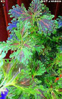 I have always loved coleus, and hope to spread the love and knowledge. So, unlike the other exorbitant prices that you see on this platform, with the tiny pots, you can have mu potted  sizeable ones at