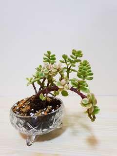 Jade Bonsai Succulent Plan (Crystal glass)