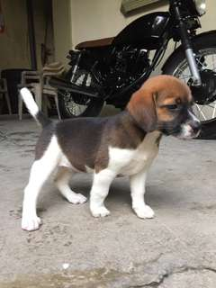 FOR SALE: Female Beagle (2mos old)